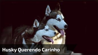Husky Siberiano Querendo Carinho, Olha Só Que Amor Estes Dois!