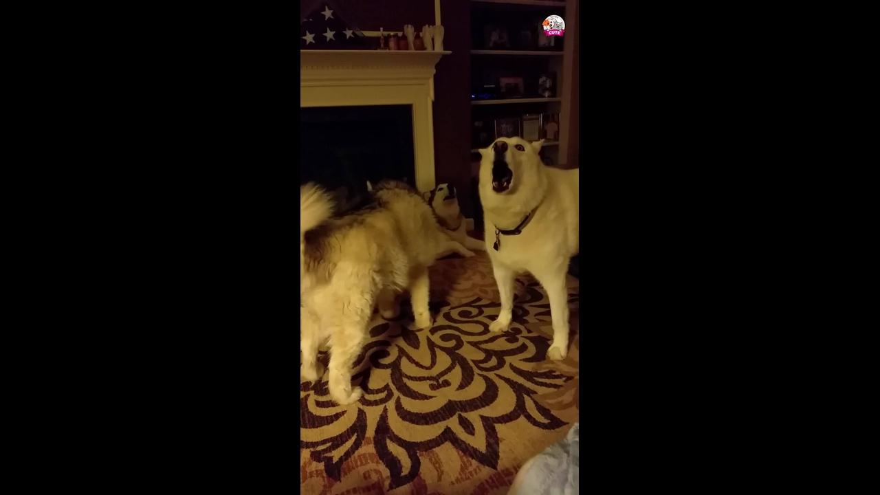Husky tentando falar com seu dono