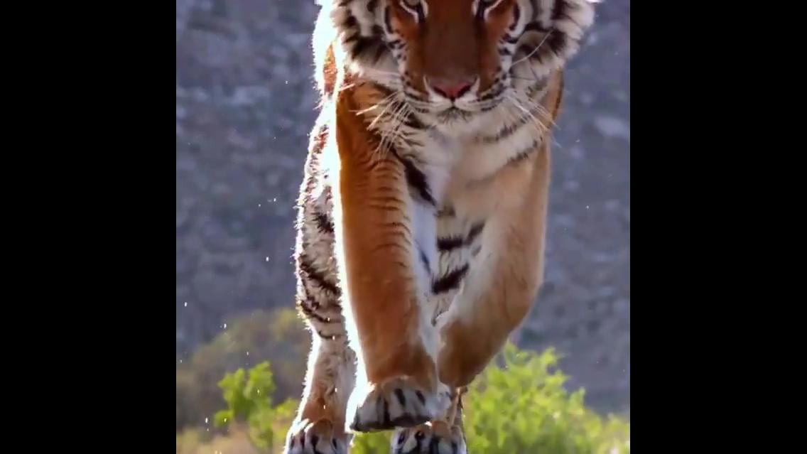 Imagem em câmera lenta de um tigre