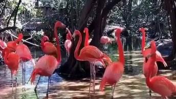 Imagens De Flamingos Elegantes, Um Vídeo Que Mostra A Beleza Deles!