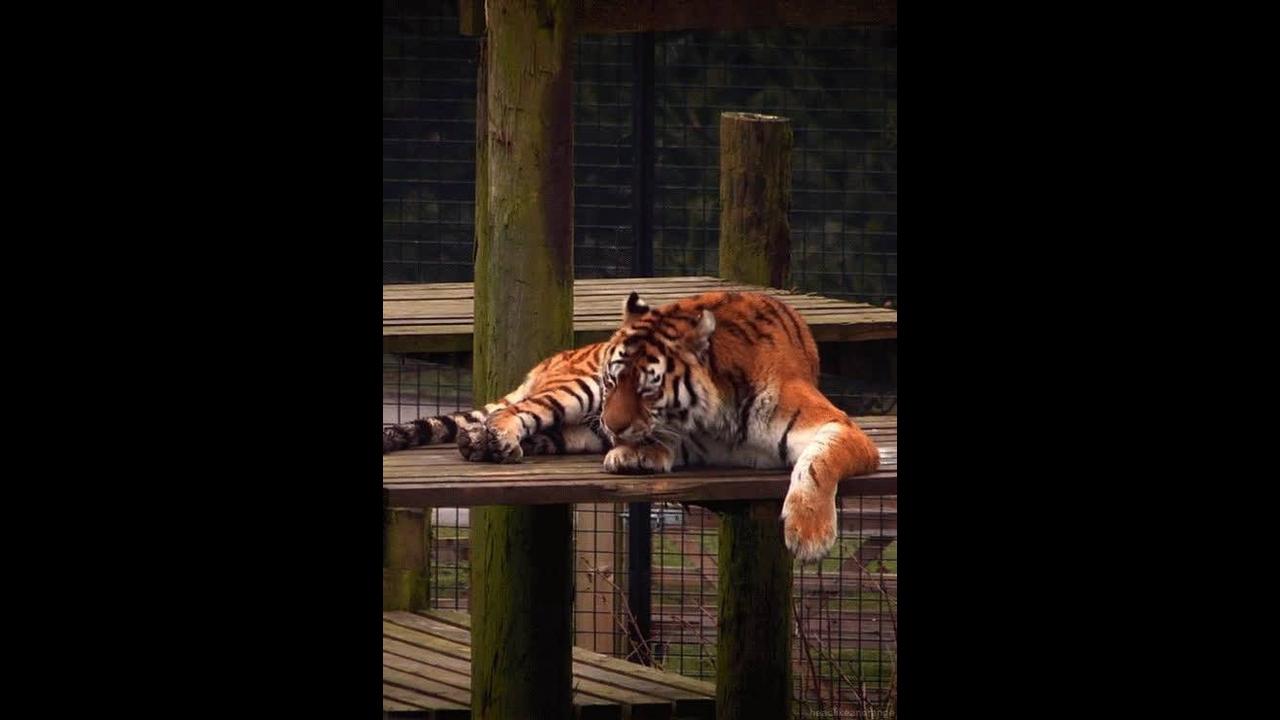Imagens de tigre para ser compartilhada no Facebook