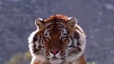 Imagens De Um Tigre-De-Bengala Caminhando Em Câmera Lenta!