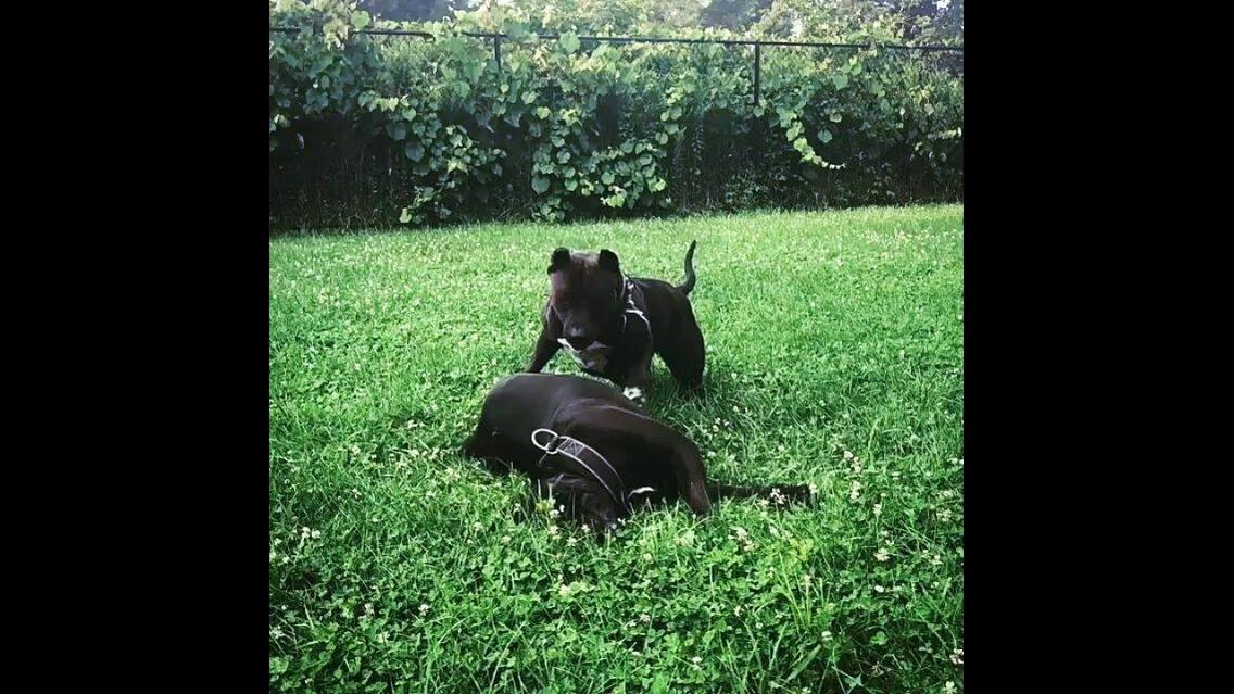 Irmãos de cachorros brincando na grama