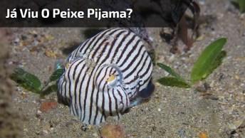 Já Viu O Peixe Pijama? Veja O Vídeo E Descubra Como Ele É!