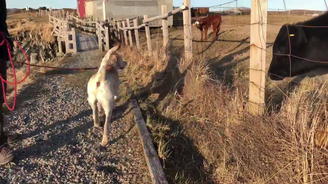Labrador fazendo amizade com vaquinha