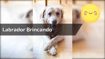 Labrador Não Gostou Do Sapinho De Brinquedo, Olha Só O Medo Deste Amigão!