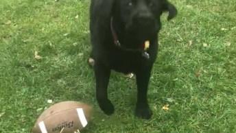 Labrador Pegando Bola No Ar, Olha Só A Festa Que Seu Dono Faz!