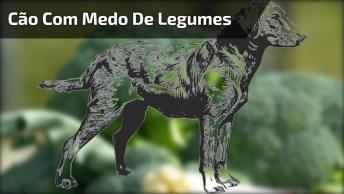 Labrador Que Tem Medo De Legumes E Verduras, Olha A Carinha Dele!