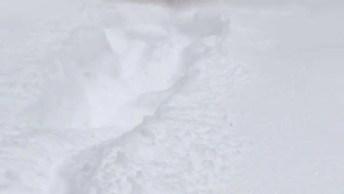 Labrador Retriever Correndo Na Neve, Ele É Muito Lindo E Esperto!