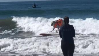 Labrador Surfando, Olha Só Que Cachorro Esperto E Cheio De Equilíbrio!