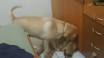 Labrador Tentando Chamar Seu Amigo Pra Brincar, Veja Como Ele Faz De Tudo!