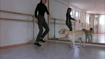 Labrador Treinando Sapateado, Não É Que Ele Manda Muito Bem?