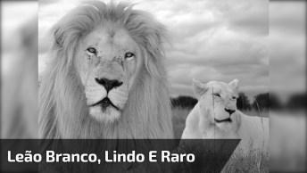 Leão Branco Albino, Que Coisa Mais Linda Da Natureza, Confira!