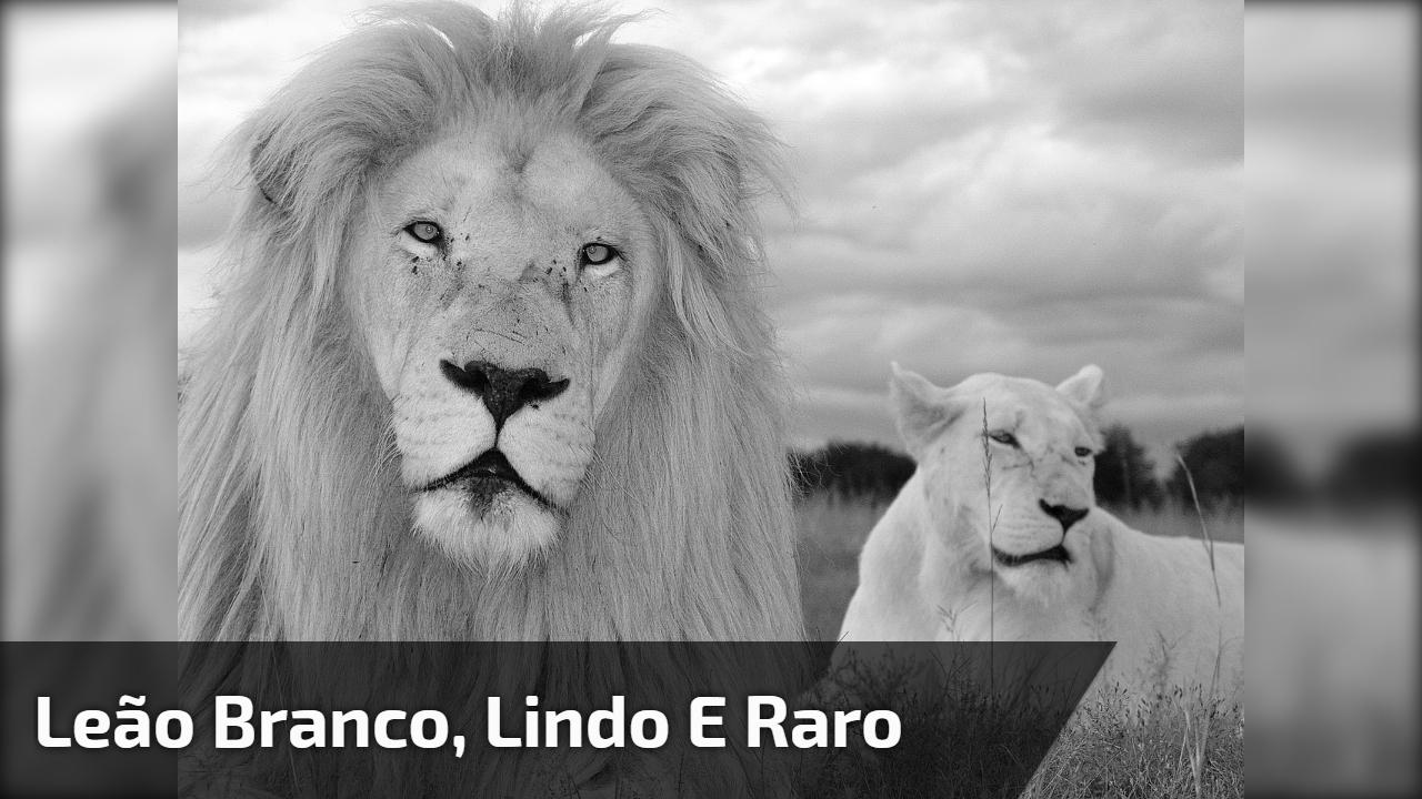 Leão branco, lindo e raro