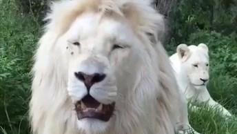 Leão Branco, Uma Especie Rara Muito Bonita Vale A Pena Conferir!