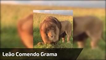 Leão Comendo Grama, Não É Atoa Que É Considerado O Rei Da Floresta, Como É Lindo