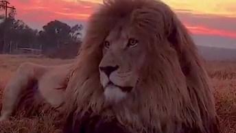 Leão Curtindo Por Do Sol, Que Animal Lindo, Vamos Repeita-Los!