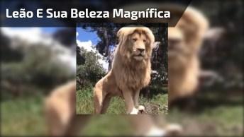Leão E Sua Beleza Magnífica, Veja Como Esse Animal É Lindo!