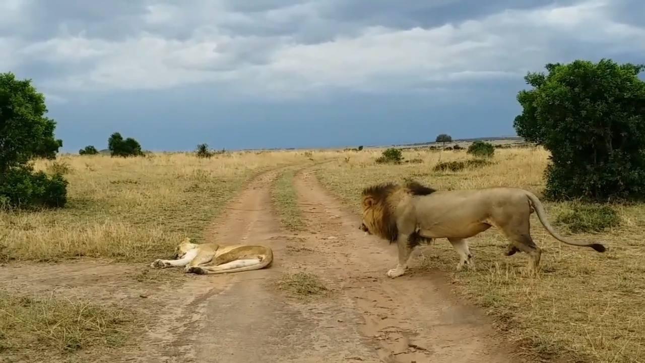 Leão faz leoa virar uma onça...