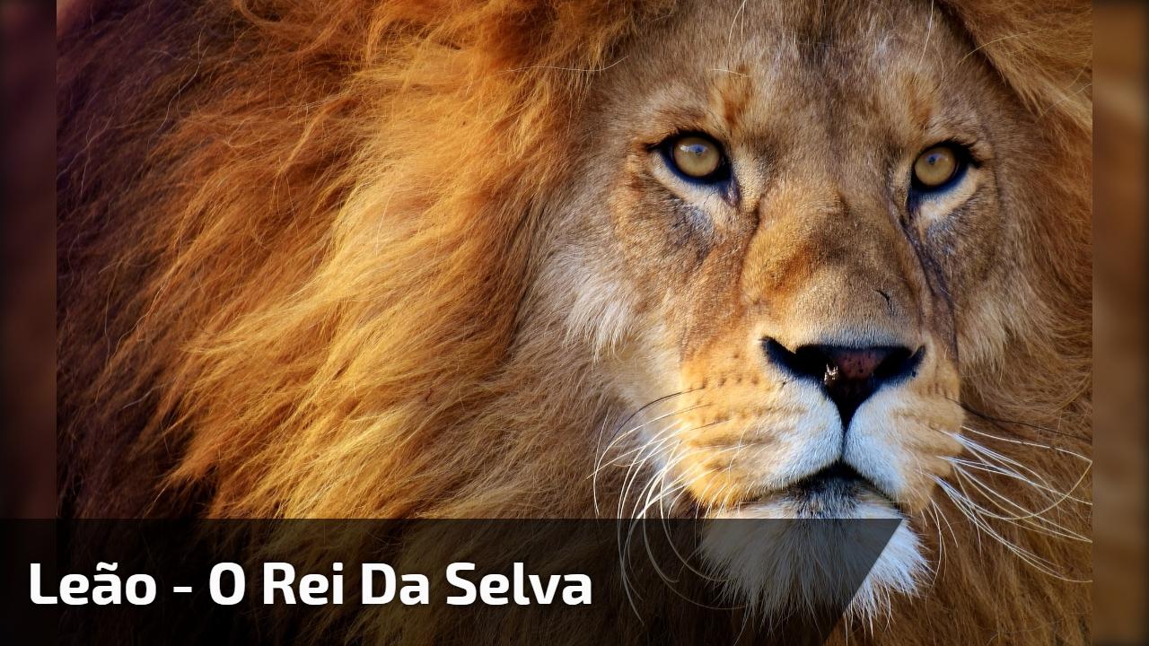 Leão - O rei da selva