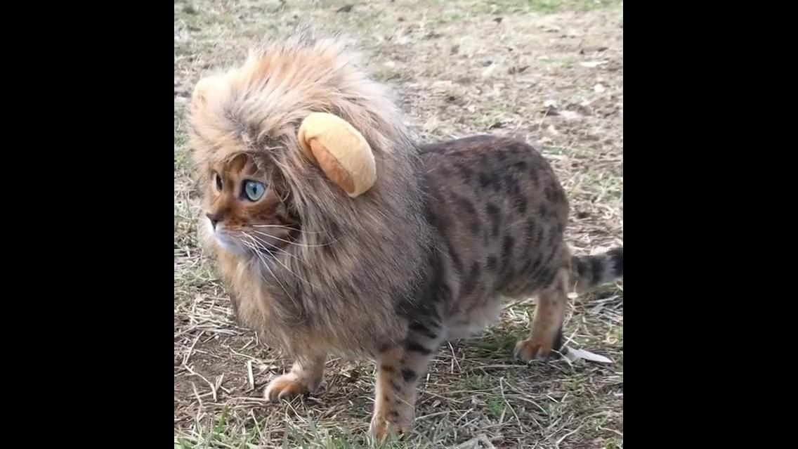 Leão pintado, olha só estes olhos azuis lindos