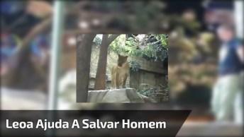 Leoa Ajuda A Salvar Homem Do Ataque De Um Leão, Que Susto Hein!