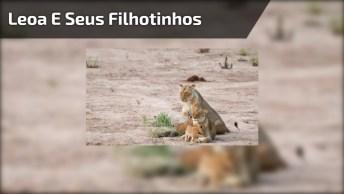Leoa E Seus Filhotinhos, O Espetáculo Do Mundo Animal. Veja Que Linda!