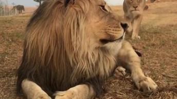 Leoa Esfregando No Leão Para Provar Que Ele É Dela Hahaha!