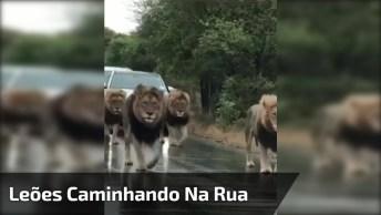 Leões Caminhando Calmamente Por Uma Rodovia, Veja Como São Imponentes!