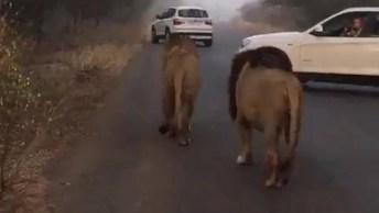 Leões Caminhando Na Estrada Tranquilamente, Incrível!