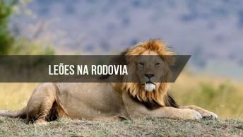 Leões Caminhando Na Rodovia, O Que Faria Se Encontrasse Com Eles?
