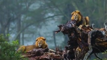 Leões Curtindo Uma Chuvinha, Como Estes Animais São Belos!