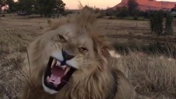 Leões Em Parque De Conservação, Como Este Animal É Lindo!