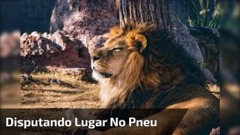 Leões Em Reserva Disputando Lugar Perto No Pneu, Veja O Tamanho Destas Feras!