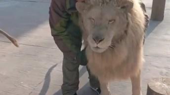 Leões Que Deixam Humanos Até Pentear A Juba Deles, Confira!