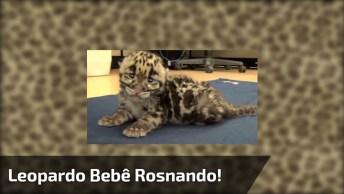 Leopardo Bebê Tentando Rosnar, Que Coisa Mais Fofinha Gente!
