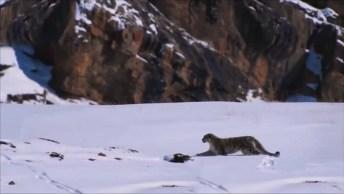 Leopardo Caçando Uma Cabra Selvagem, Eles Rolaram Bastante Na Montanha!
