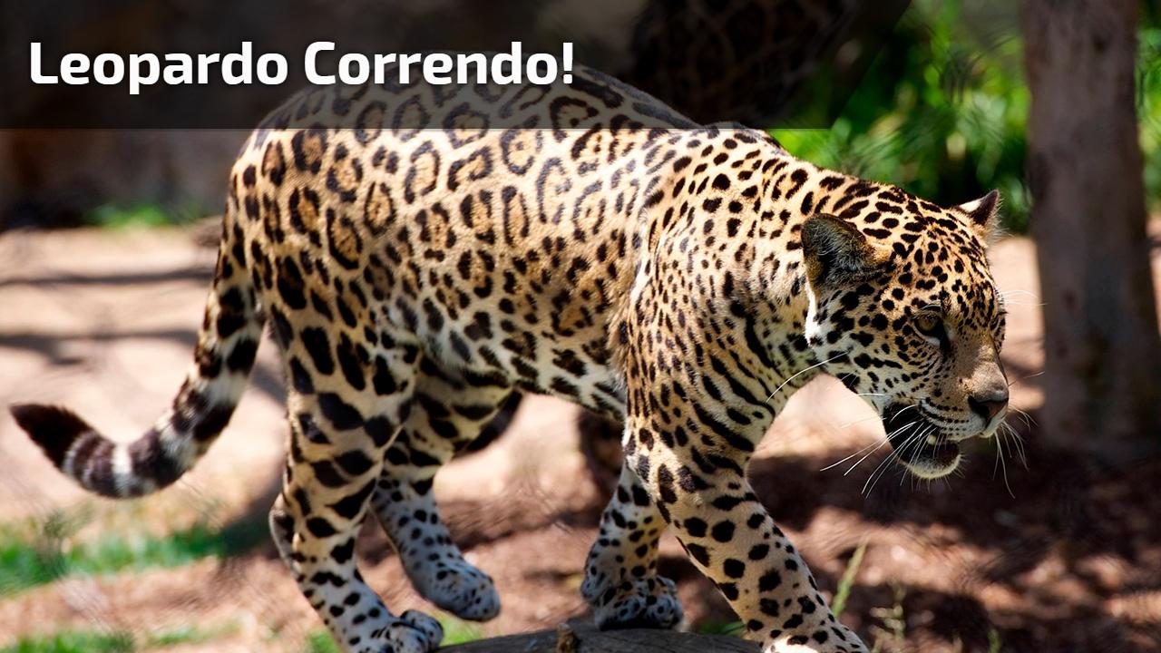Leopardo correndo!