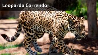 Leopardo Correndo, Veja Que Velocidade Ele Pode Alcançar!
