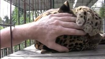 Leopardo Tendo Reação Incrível Ao Encontrar Com Homem Que Salvou A Sua Vida!