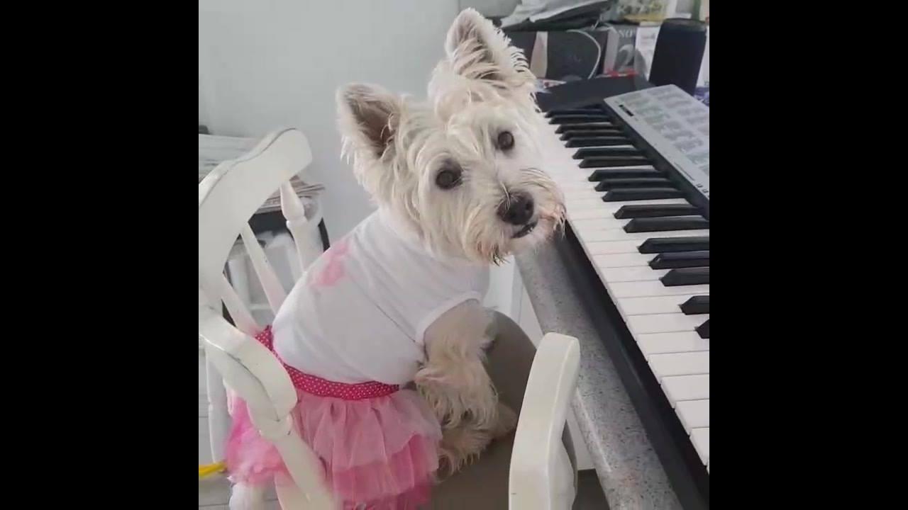 Linda cachorrinha tocando piano, ela é muito fofa