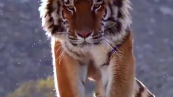 Lindas Imagens De Um Tigre De Bengala, Ele É Maravilhoso!