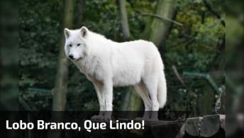 Lindo Lobo Branco Fazendo Rara Exposição, Que Animal Mais Lindo!