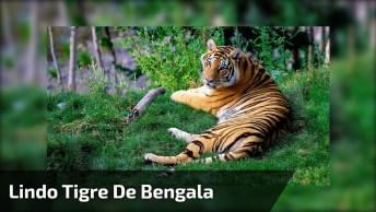 Lindo Tigre De Bengala, Veja Que Animal Maravilhoso, Com Beleza Inigualável!
