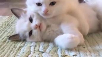 Lindos Gatinhos Brancos Brincando, Eles São As Coisas Mais Bela Que Verá Hoje!
