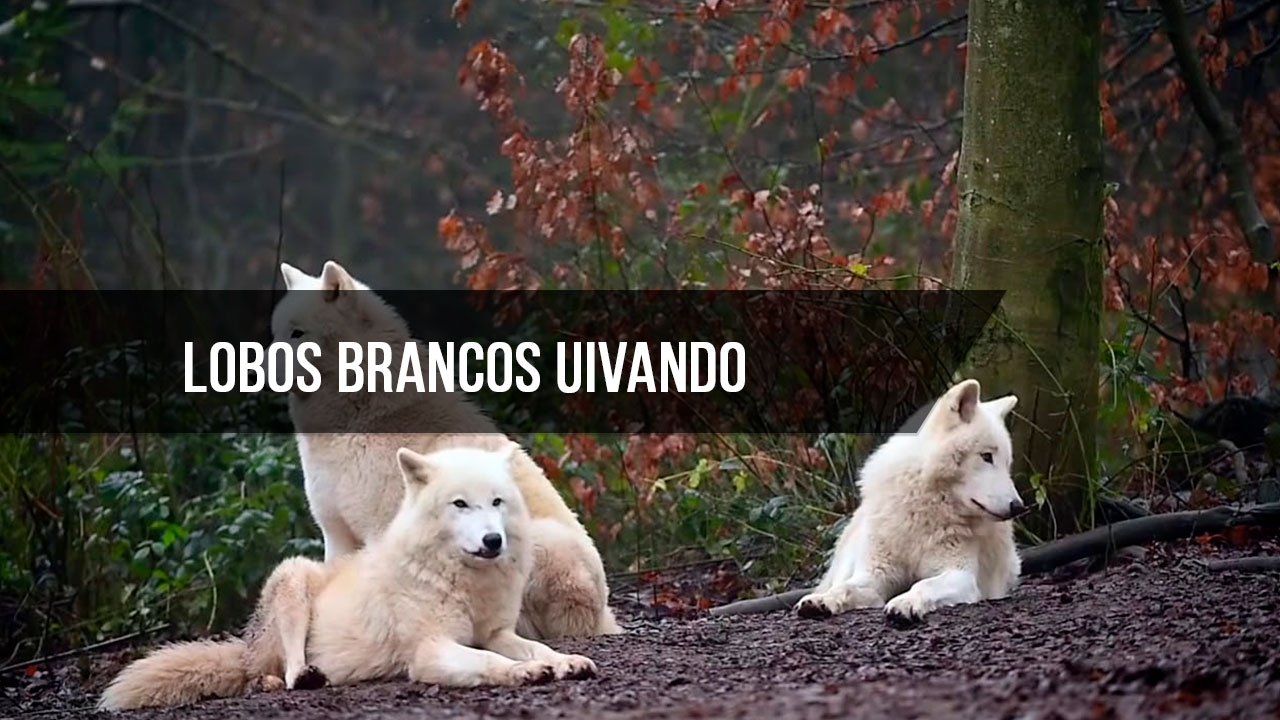 Lobos Brancos uivando na natureza, como são lindos estes animais!!!
