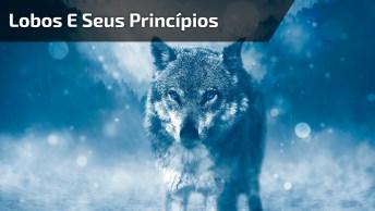 Lobos E Seus Princípios, Que Servem Muito Pra Nós Humanos, Confira, Vale A Pena!