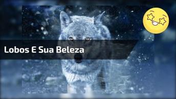 Lobos E Sua Beleza Encantadora! Veja As Mais Belas Imagens Deste Animal!