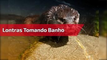 Lontras Tomando Banho, Olha Só Que Criaturas Mais Fofinhas!