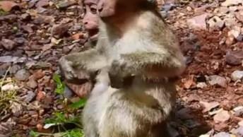Macaca Desmamando Seu Filhote, O Mundo Anima É Mesmo Extraordinário!